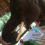 Naughty elephant trying to eat our picnic