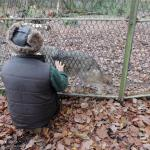 One of the hand-reared wolves