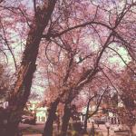 Lovely Cherry Blossom Trees