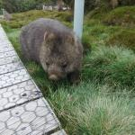 Wombats around Pepperlodge