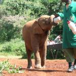 Orphaned Elephant Bottle Feeding