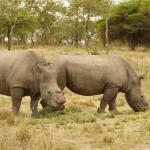 Poached Rhinos
