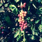 Coffee berries at Greenwell Farms
