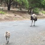 A cute baby emu... The mother was non too pleased of the attention I showed it though..