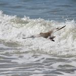 Willet flying over the waves
