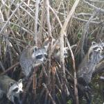 Raccoons in the Everglades!