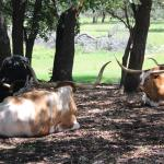 Texas Longhorns resting in the shade