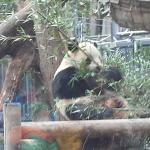 One of two pandas at Ueno Zoo.