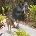 Cassowaries - Close up
