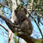 Koala spotting at Kennett River