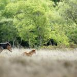 The New Forest Ponies