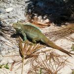 Iguana off Turks and Caicos