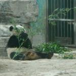 its the cute panda! eating bamboo leaves