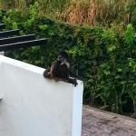 Monkey seen from our balcony - so cool!