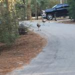 Turkeys taking a stroll while we walked the dogs.