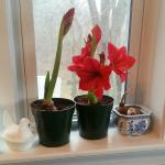 Amaryllis blooming Christmas Day 2014