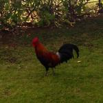 Roosters roam the resort and most if the island.