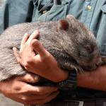Tina, the sleeping cutie (3 months old orphaned wombat)