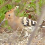 Hoopoe ( been trying to photograph one for years