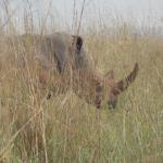 One of two Rhino seen that day.