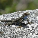 Western Fence Lizzard (along the trails around Bearpaw)
