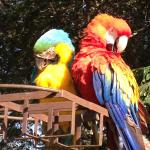 Macaws by the pool