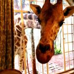 The giraffes will join you for breakfast every morning.
