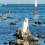 Rare sighting of a Great White Heron! Only est. 1,000 left & only found in the FL Keys & mangrov
