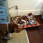 Dogs settling into the room