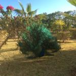 Percy the Peacock