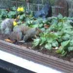 Squirrels visiting the rear garden