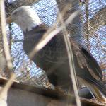 Eagle at the Brandywine Zoo