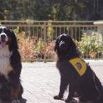 Poet, the Service Dog, and one of the Berners