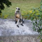 Langur for company