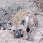 One of the hyaenas that call Pidwa 'home'.