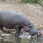 A hippo asking for permission to enter the pool from the dominant male