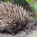 Echidna searching for ants and too busy to worry about us