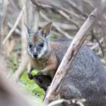Mama Wallaby trying to shush her baby