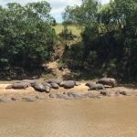 The resident hippos