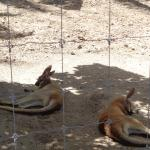 Kangaroos that you can pay to pet and feed!