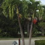 Christmas Palm at Sandalfoot Entrance