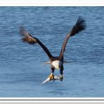 Bald Eagle Catches Dinner