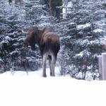 Moose by the hanging rack in winter