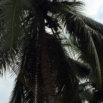 This photo is not of Thapovan, but Thapovan should have nets on Coconut Tress as shown in the Ph