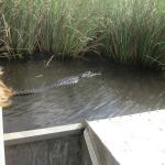 One of five gators we saw in their natural habitat