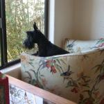 Our Scottie, Olive, birdwatching from the B and B's kitchen window