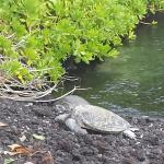 Honu napping by the lagoon