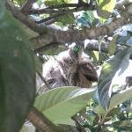 Sloth napping in the trees near the front of the property