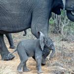 This baby elephant is so adorable I can hardly stand it!!