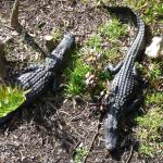 A couple of gators near the tower.